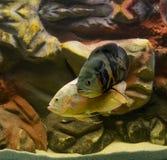 Het Undewwaterleven, aquariumvissen Stock Foto