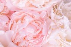 Het Unfocusedonduidelijke beeld nam bloemblaadjes, abstracte Romaanse achtergrond, pastelkleur en zachte bloemkaart toe stock afbeeldingen