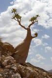 Het unieke Eiland van Socotra van de flessenboom Stock Foto