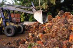 Het uploaden van de vruchten van de Palmolie Stock Foto's