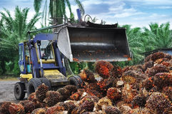 Het uploaden van de vruchten van de Palmolie Stock Foto