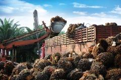 Het uploaden van de vruchten van de Palmolie Stock Fotografie