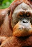 Het utan portret van de orang-oetan Stock Afbeeldingen