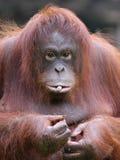Het utan wijfje van de orang-oetan Stock Foto's