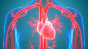 Het Vaatstelsel van menselijk Lichaamsorganen met Hartanatomie royalty-vrije illustratie