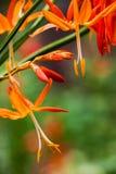 Het vallen aurea van Stercrocosmia Royalty-vrije Stock Foto's