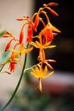 Het vallen aurea van Stercrocosmia Royalty-vrije Stock Foto