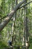 Het vallen van bomen Stock Foto's
