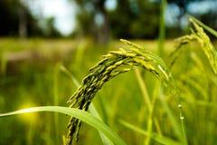 Het van het landbouwbedrijfthailand van de rijstboom het voedselseizoen Stock Afbeelding