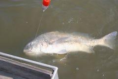 Het vangen van een aardige vis van de grootte Zwarte Trommel terug in de wildernis Stock Foto's