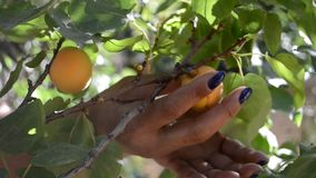 Het vangen van verse abrikozen stock videobeelden
