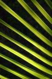 Het Varenblad van de palm Stock Afbeeldingen