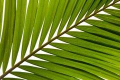 Het varenblad van de palm royalty-vrije stock foto