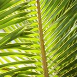 Het varenblad van de palm. Royalty-vrije Stock Foto