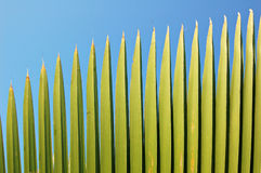 Het varenblad van de palm Stock Foto's