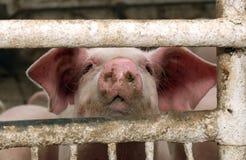 Het varken bij een varkensfokkerij Royalty-vrije Stock Foto's