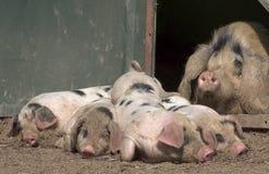 Het varken dat van de brij over haar prachtige biggetjes kijkt Stock Fotografie