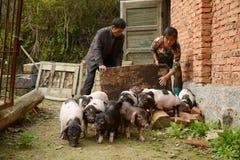 Het varken-fokken--het natuurlijke ecologische leven in Chinees platteland Stock Foto's