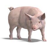 Het varken geeft terug Stock Afbeelding