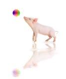 Het varken speelt een bal stock fotografie