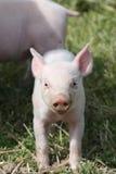 Het varken van de baby stock foto's