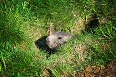 Het varken van de grond in zijn hol Stock Afbeelding