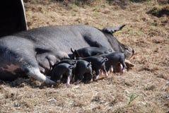 Het varken van de moeder verzorgingsbiggetjes Stock Foto