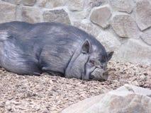 Het varken van de slaap Royalty-vrije Stock Foto