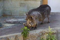 Het varken van de wrat in dierentuin Royalty-vrije Stock Foto
