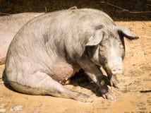 Het varken van de zitting stock foto's