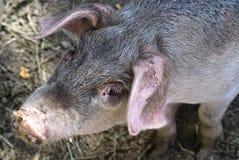 Het varken van het landbouwbedrijf Royalty-vrije Stock Afbeelding