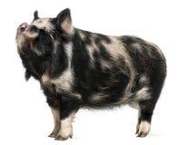 Het varken van Kounini Stock Afbeeldingen