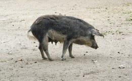 Het varken van Mangalitsa royalty-vrije stock foto