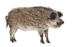 Het varken van Mangalitsa of van het krullend-haar stock foto's