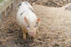 Het varken ziet eruit Stock Afbeelding