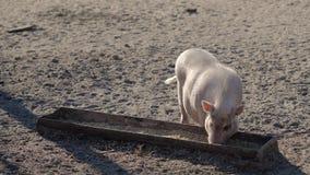 Het varkensontbijt stock footage