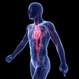 Het vasculaire systeem Royalty-vrije Stock Fotografie