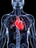 Het vasculaire systeem Stock Afbeelding