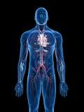 Het vasculaire systeem royalty-vrije illustratie