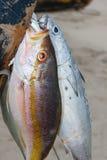 Het vastbinden van vissen Stock Foto