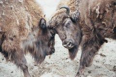 Het vechten bizon Royalty-vrije Stock Foto