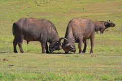 Het vechten Buffels Royalty-vrije Stock Afbeelding