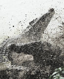 Het vechten Cubaanse krokodil stock foto