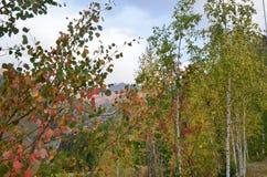 Het vechten de herfst met de zomer Het bosje van de berk stock afbeeldingen