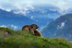 Het vechten dierenmarmot, Marmota-marmota, in het gras met de berghabitat van de aardrots, Alp, Oostenrijk Mormot met grasberg Royalty-vrije Stock Foto