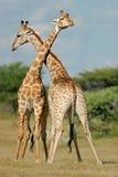 Het vechten giraffen   Stock Foto