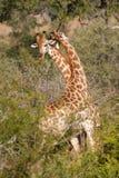 Het vechten giraffen royalty-vrije stock foto's