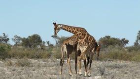 Het vechten giraffen