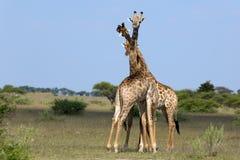 Het vechten giraffen Royalty-vrije Stock Afbeelding