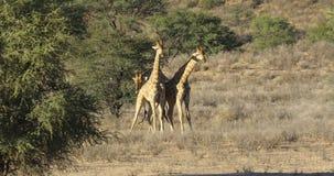 Het vechten girafstieren - de woestijn van Kalahari stock videobeelden
